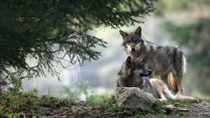 La chronique de Stéphanie : Le grand méchant loup